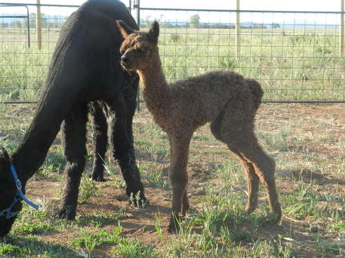 Antero- our first cria born on ranch!