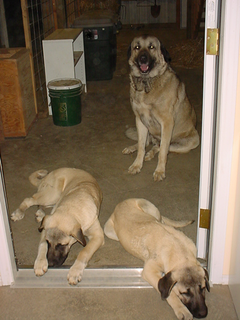 Three Anatolians at the Door