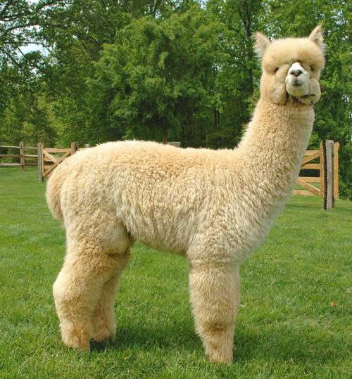 Alpacas For Sale: BENTLEY'S RENNY