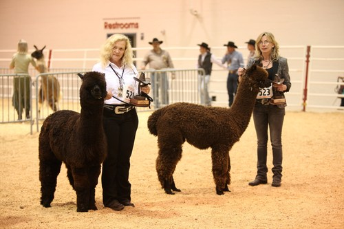 Do Little Farm Alpacas wins the Black Male Championship and Tierra Prometida Alpacas wins the Black