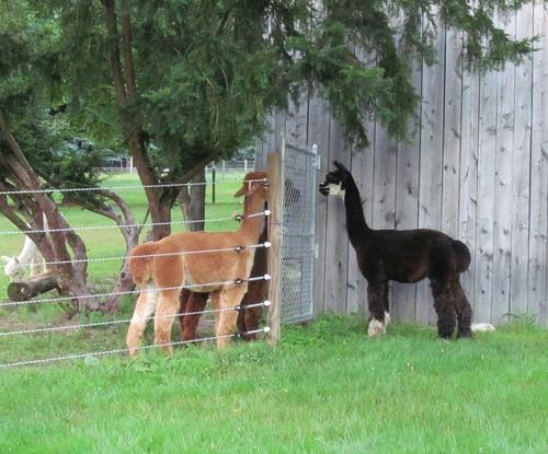 JUMANJI meeting his new herd mates.