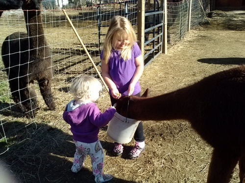 Kids love being around alpacas!