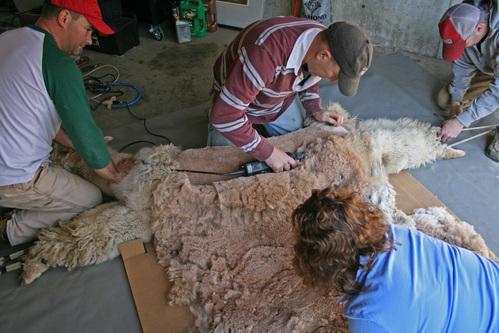Helping hands shearing an alpaca