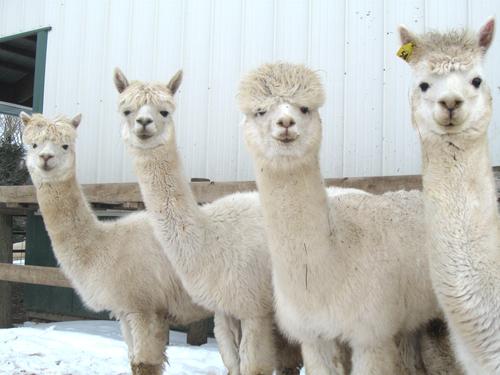 Huacaya alpacas