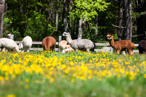 Morning Beckons Farm Llc Is An Alpaca Farm Located In Thompson Connecticut Owned By Julie And Vern Butler