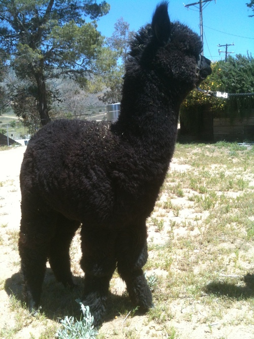Kenya before shearing