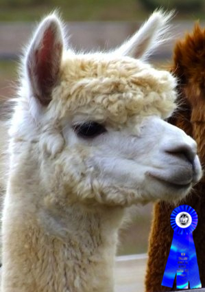 65055527df49 Alpacas For Sale  Arias  Orion of Island Alpaca  Huacaya