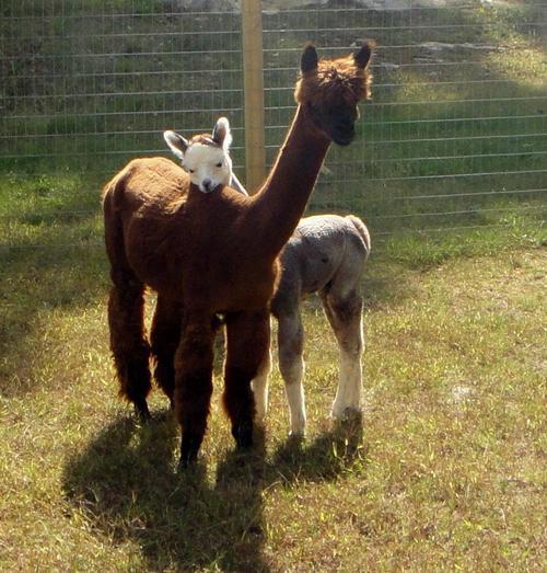 Afbeeldingsresultaat voor robin the alpaca