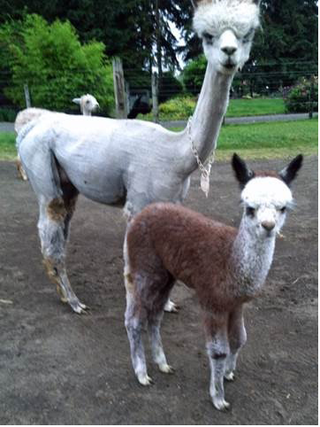Magic Flight's First Cria!