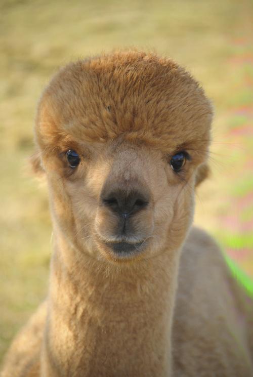 Acadia For Sale >> Alpacas For Sale: Acadia Alpacas Precipice: Huacaya, Male ...