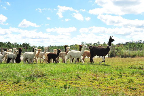 Follow us to Carolina Pride Alpacas!