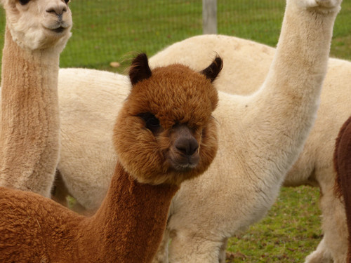 A Goode View Alpaca Farm located in Goode Virginia Top quality alpacas selected from the most elite lineage and farms in the country