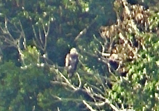 After July's 2-twisters, we had a young EAGLE (known nearby) visits the pond above the alpaca fields