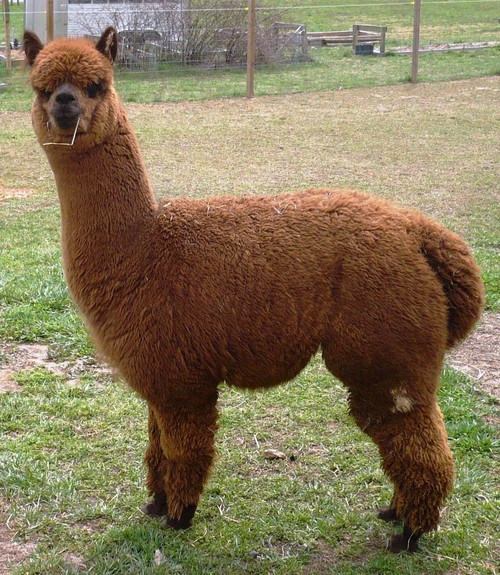 Openherd Rita Dee Farms Is An Alpaca Farm Located In Pfafftown North Carolina Owned By Denise Spencer Yost An Alpaca Farm