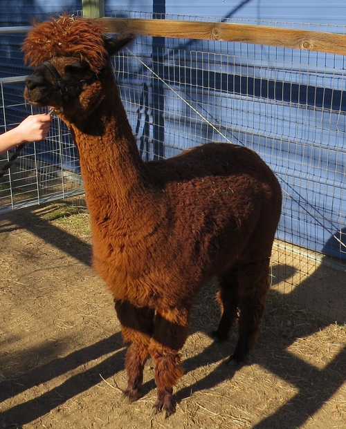 Alpacas for sale bali high rock star xx huacaya female for Rock star photos for sale