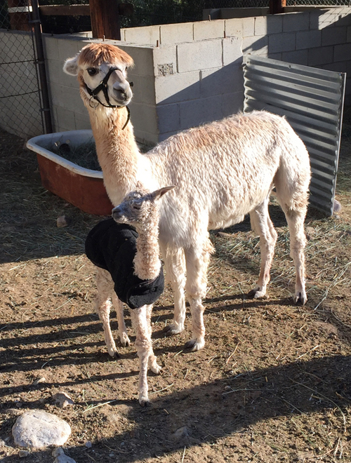 RRRA's Sofia and her new cria
