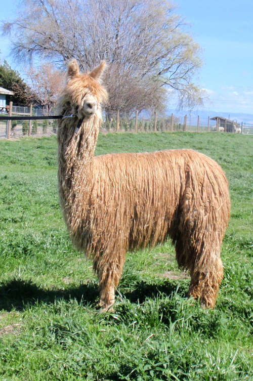 Openherd Seed Stock Suri Alpacas Is A Farm Located In
