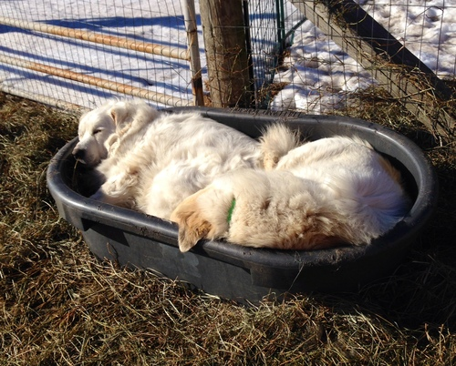 Busted!  Grace and Hope caught snoozing in the hay bin