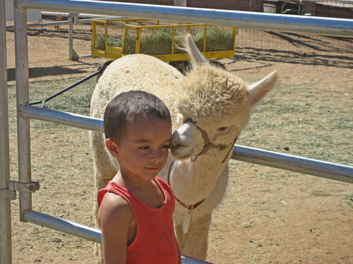 Alpacas love calm small children!