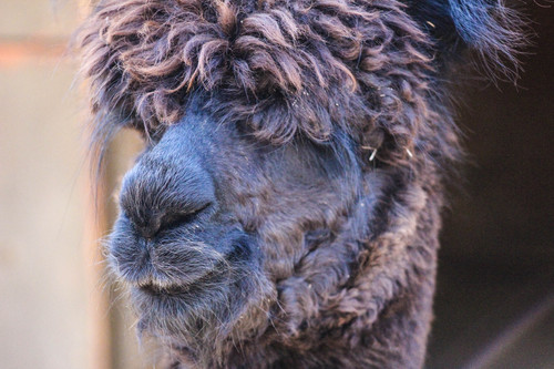 Alpacas are always with a smile.