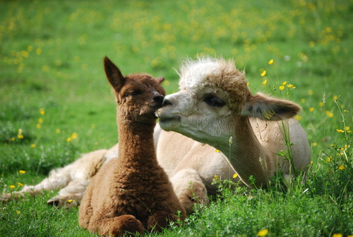 Shasta Rose with her cria.