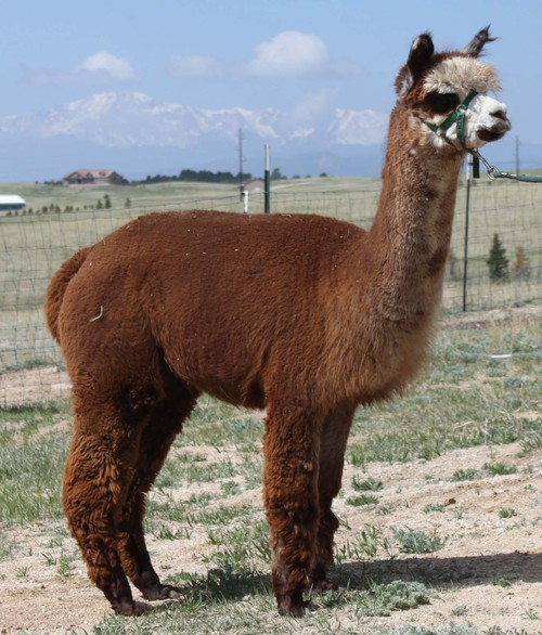 Alpacas For Sale: WHA Dorothy: Huacaya, Female, Proven