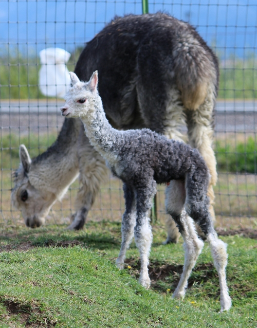 Cumbia and still wet 1 hour old boy Sterling Silver Champion