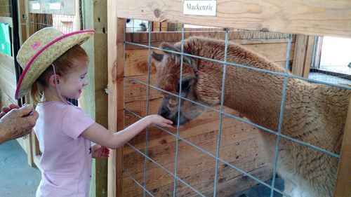 Little visitor feeds herd sire  Mackenzie