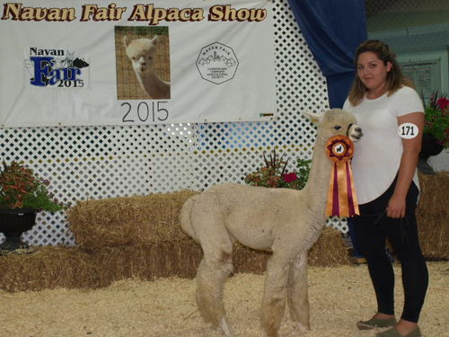 Grand Champion Light Excelsior