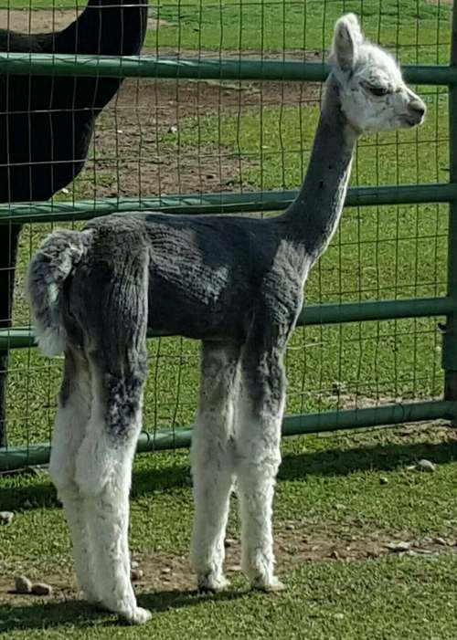 Champion 1 month old and shorn
