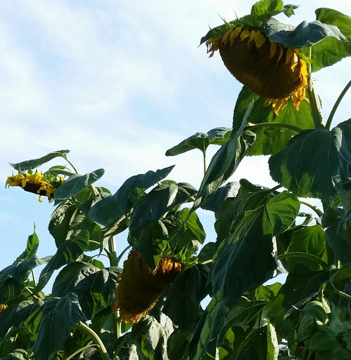 sunflowers for winter birdseed