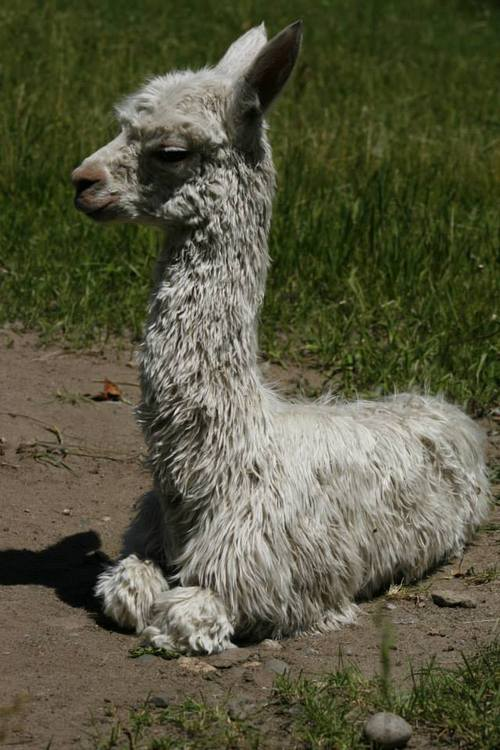 Alpacas For Sale Spanish Peaks Khaleesie Suri Female