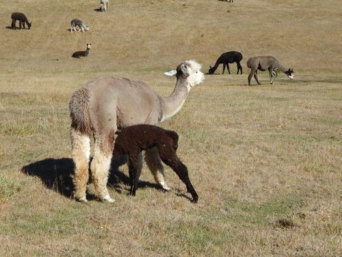 Alpacas For Sale: Mountain Jewel Kaspar: Huacaya, Male, Unproven ...