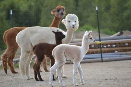 Alpacas For Sale Janeo S Ivanhoe Huacaya Male Unproven Maine Unity