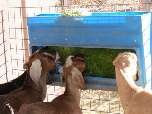 They eat everything: the grass, seedbed, and roots!