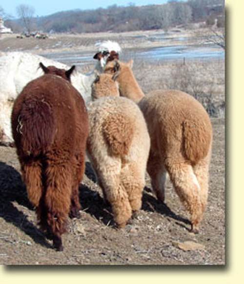 Sauk Creek Alpacas: Alpaca Facts