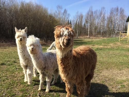 talmoon heritage farms llc is an alpaca farm located in talmoon minnesota owned by gayle pratt