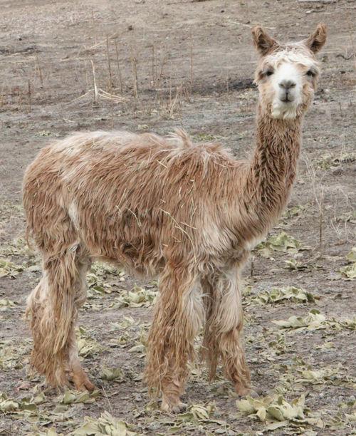 Lighting Stores Colorado Springs: Alpacas For Sale: Baranoff's LEILANI: Suri, Female, Proven