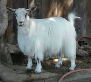 Openherd: Spice Mountain Farms is a goat farm located in