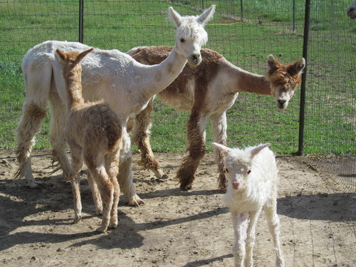 Eve and Greta with their new crias, born this summer!