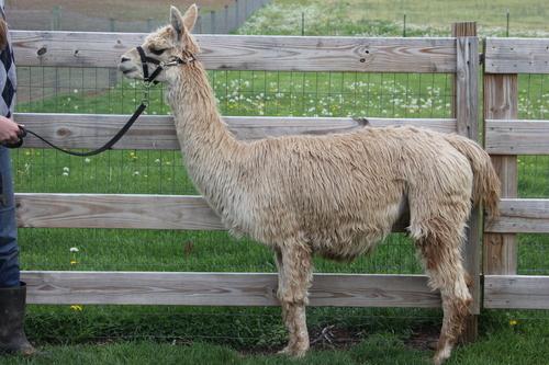 e0b22f869427 Alpacas For Sale  LCA Chardonay  Suri