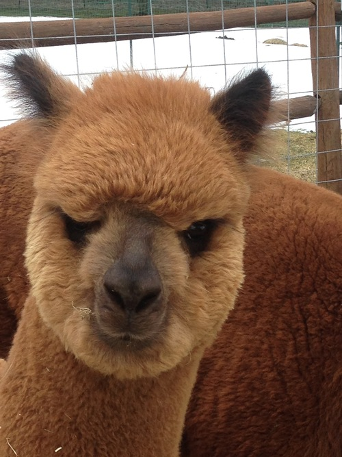 seven acres alpaca farm is an alpaca farm located in phoenix new york owned by bill bundy and. Black Bedroom Furniture Sets. Home Design Ideas