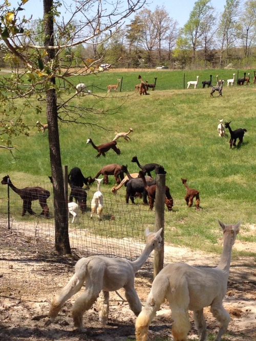 Alpacas are fun, social animals that love to  'pronk' around in the meadow together!
