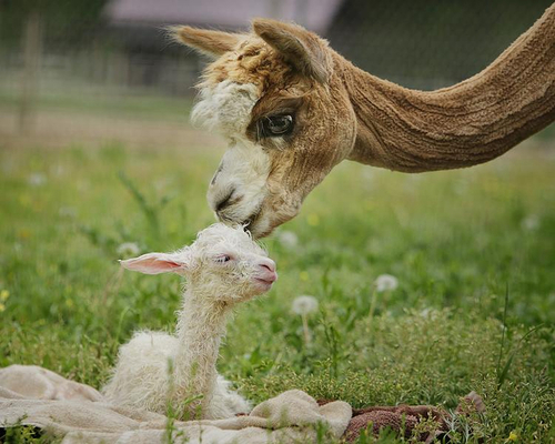 A newborn baby alpaca called a 'cria.'