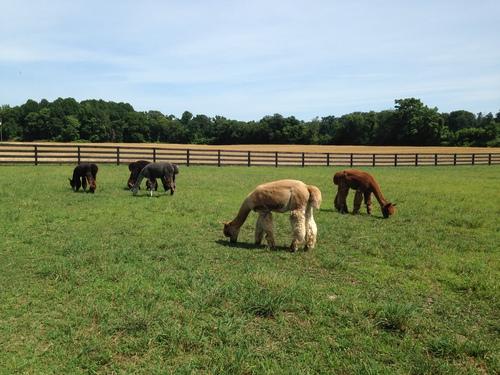 Shady brook farm llc is an alpaca farm located in for Shady brook farms