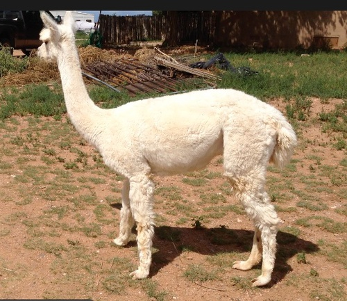 Openherd Mrs Poppler 39 S Alpacas Is An Alpaca Farm Located In Santa Fe New Mexico Owned By
