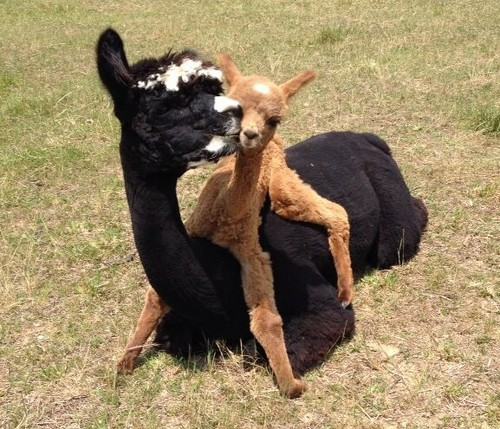 Courtesy of Wildwood Alpacas
