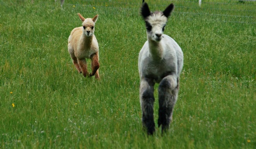 Alpaca cria enjoying a pronk around the pasture!