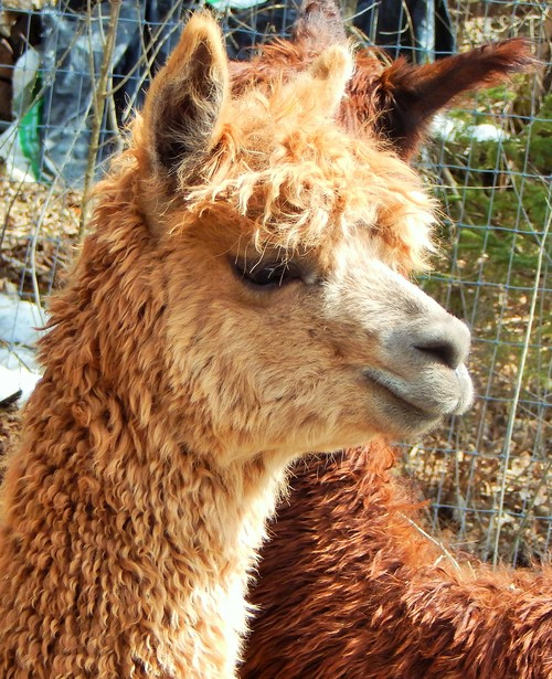 Openherd: Alpacaville Is A Farm Located In Bemus Pount