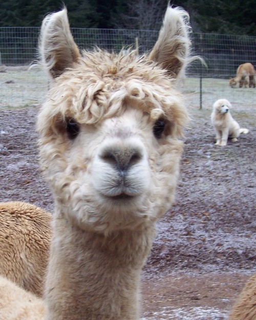 Alpacas For Sale: TAS TigerLilly: Huacaya, Female, Proven ...
